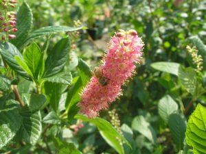 Ruby Spice Clethra - great landscaping plant