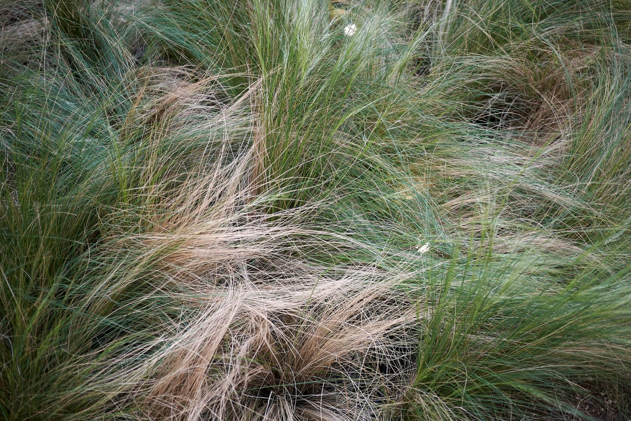 Native Sedges Shady Lawn Replacement Mulch Substitute And More