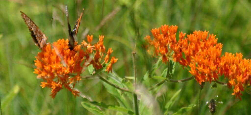 The Lowdown on Milkweed