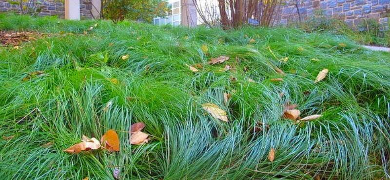 Native Sedges – A Shady Lawn Replacement