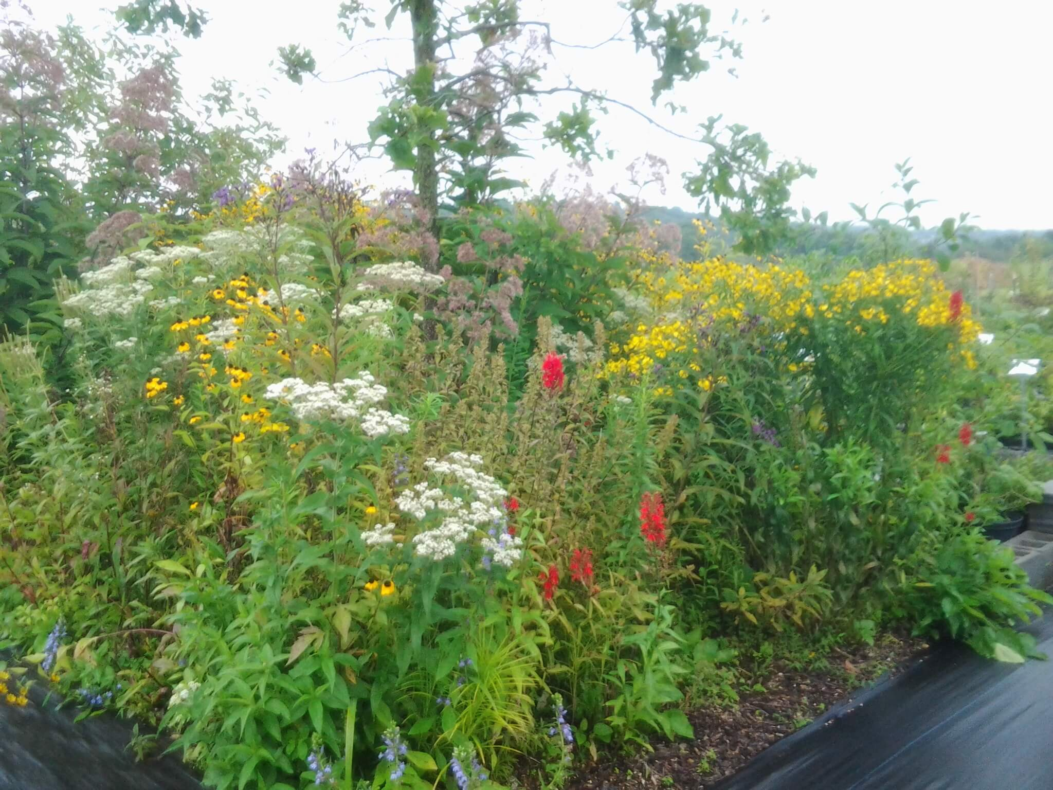 Pollinator Garden Starter Kits on native perennial garden, native wildflower garden, native plant garden, native bee habitat,