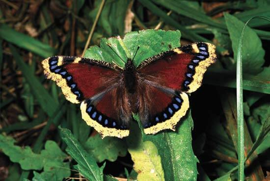 Mourning-Cloak-Images