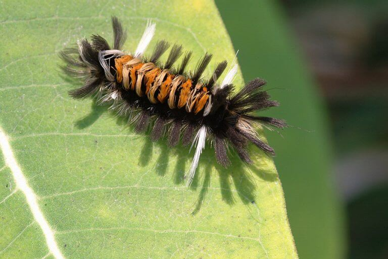 tussock moth caterpillar on milkweed