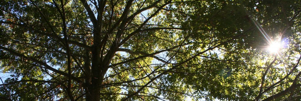 Nine Reasons to Plant an Oak