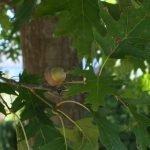 Pin Oak Acorn