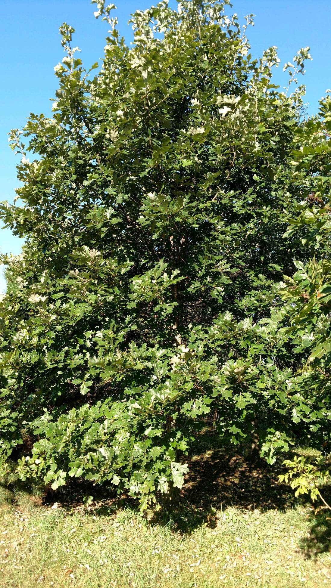 Nine Reasons to Plant an Oak | Edge Of The Woods Native Plant ...