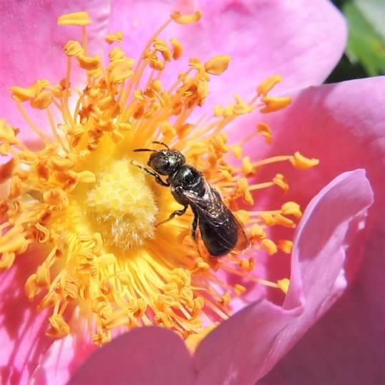 pasture rose lasioglossum