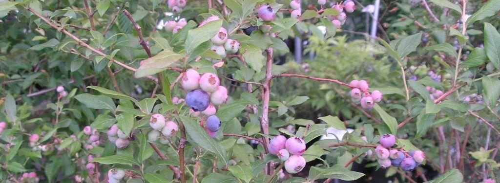 Grow Your Berry Best
