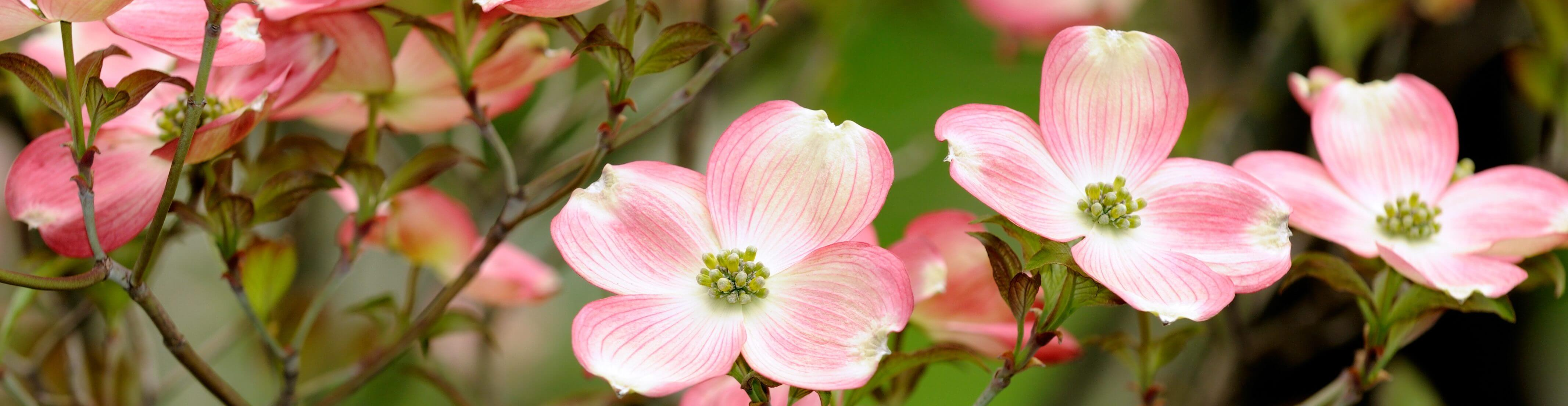 Cornus florida, pink (Pink Flowering Dogwood)
