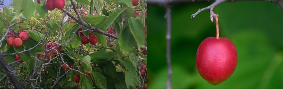 Prunus American (American plum)