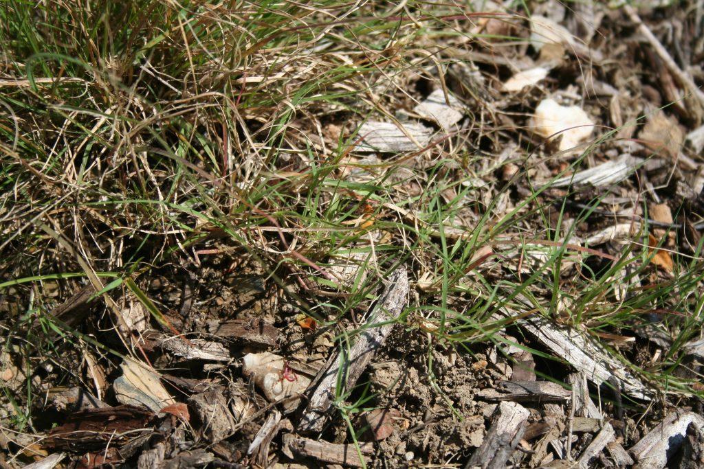 Species Spotlight – Buffalo Grass