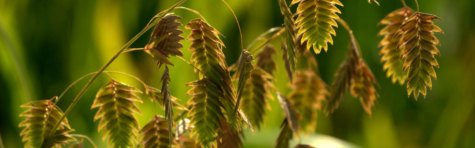 Species Spotlight – The Native Grasses Part One