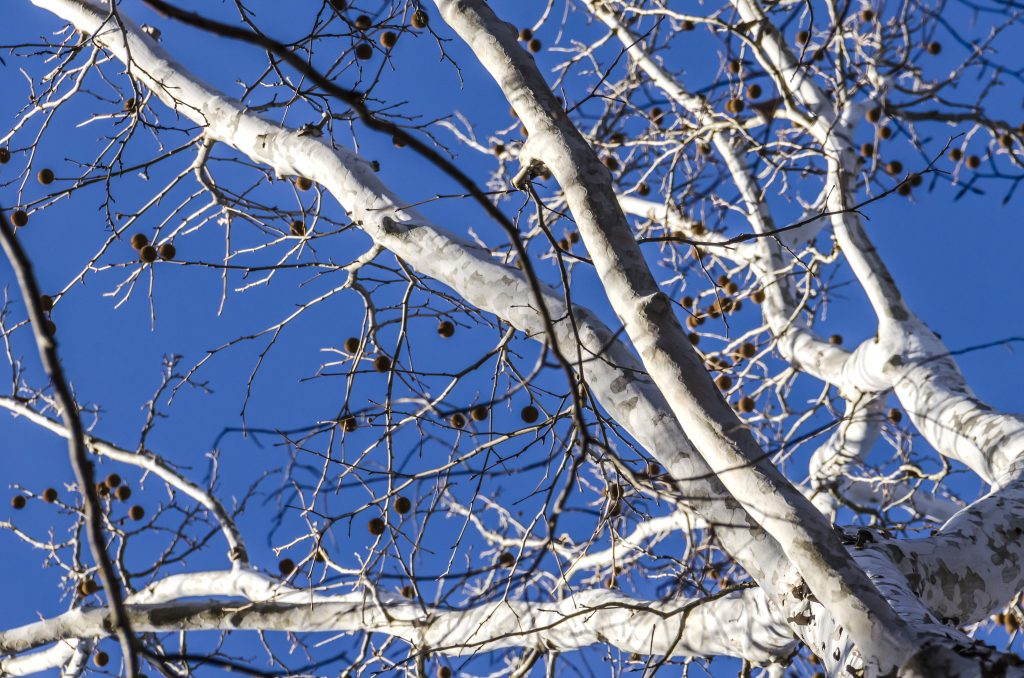 Species Spotlight – American Sycamore