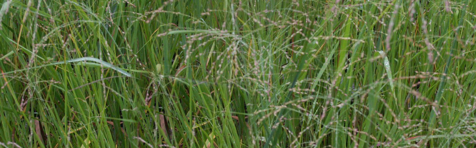 Species Spotlight – The Native Grasses