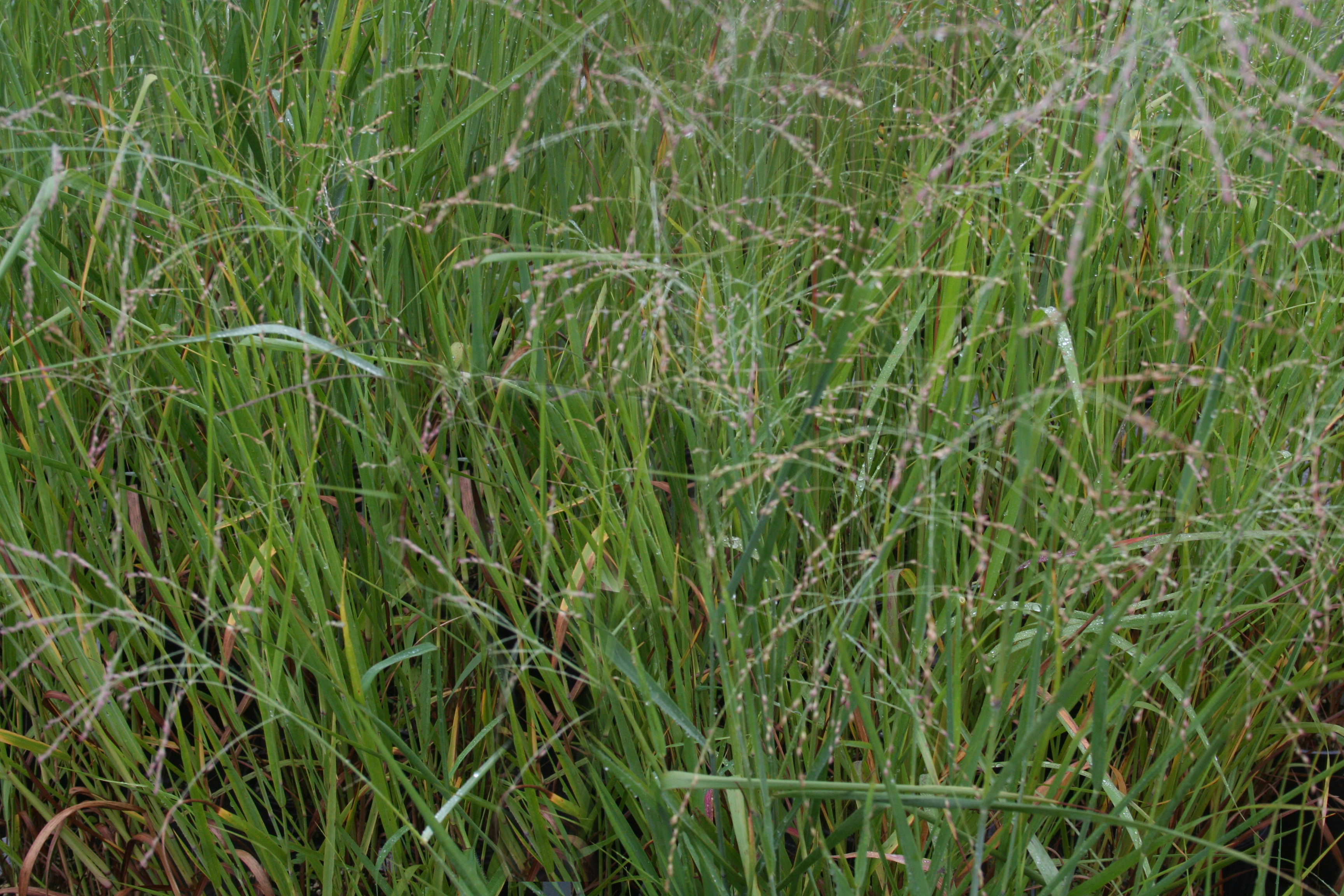 Species Spotlight The Native Grasses Edge Of The Woods Native