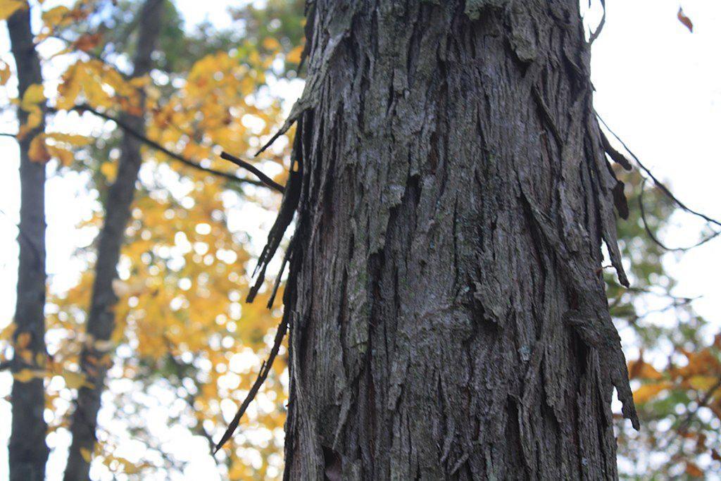 Species Spotlight – Shagbark Hickory
