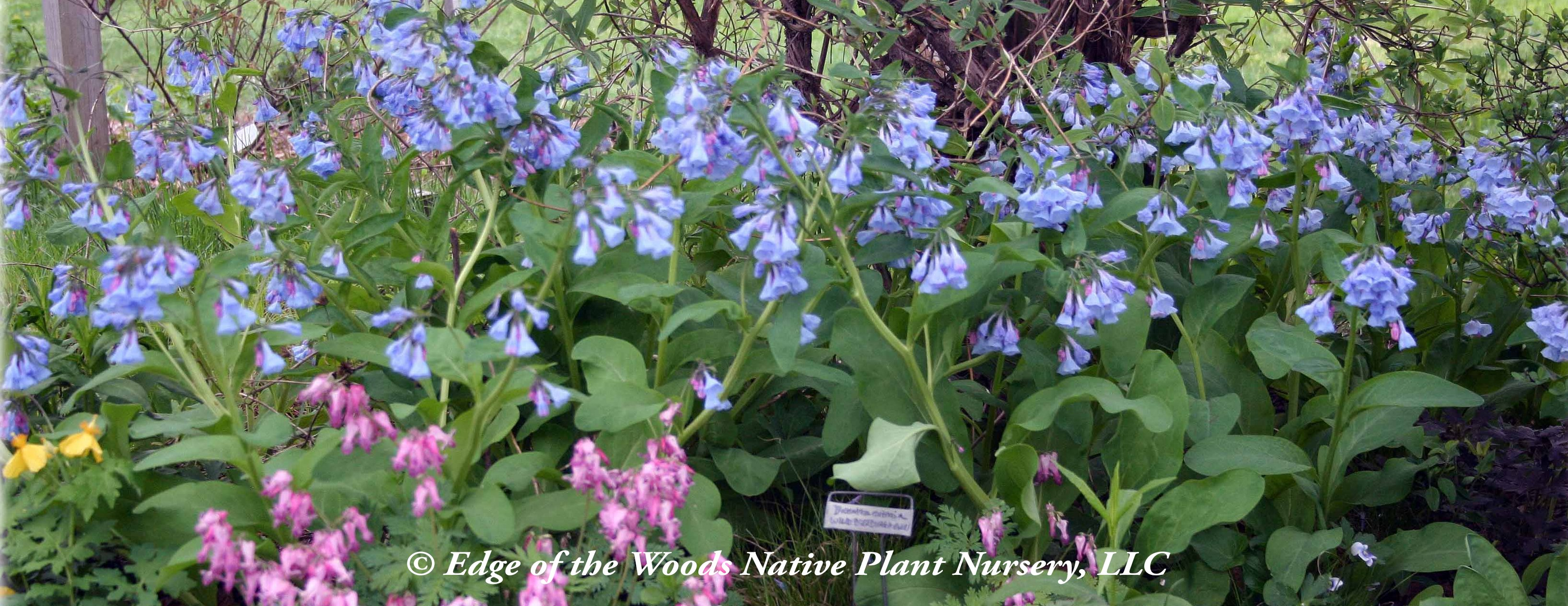 Thinking of Spring: The Spring Ephemerals | Edge Of The
