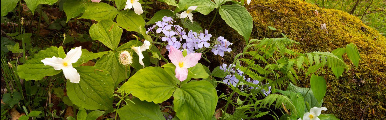 Spring Ephemerals in the Garden