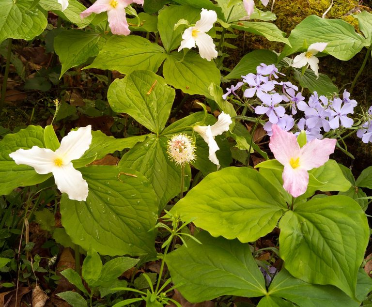 Trillium flowers and moss covered log