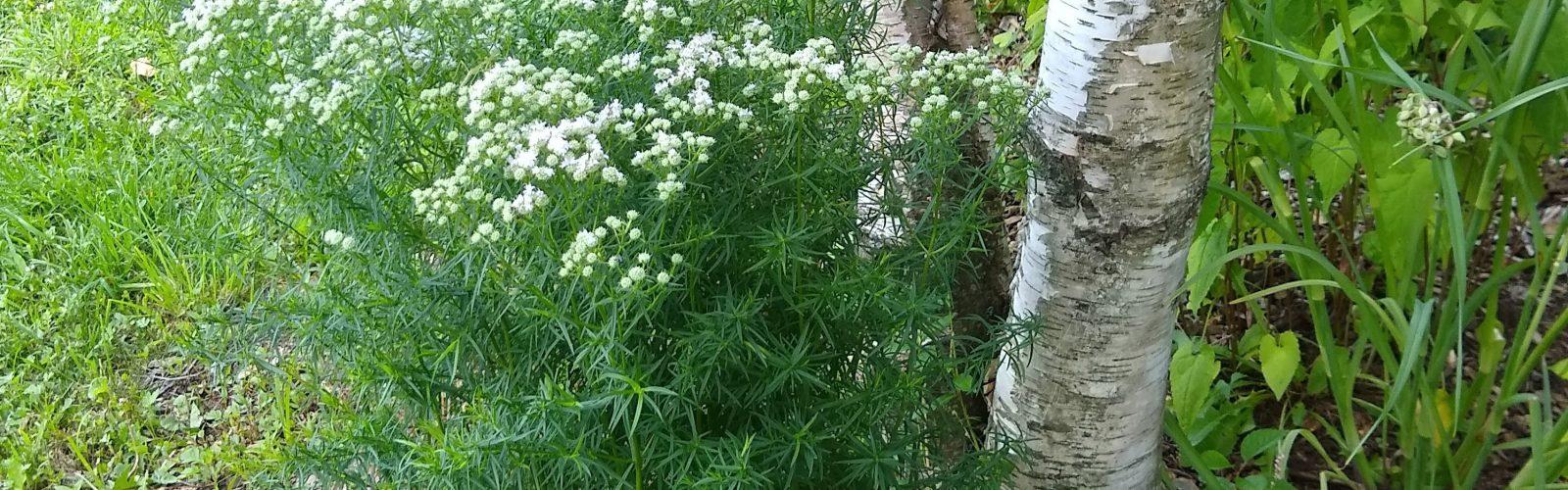 Species Spotlight:  Pycnanthemum tenuifolium