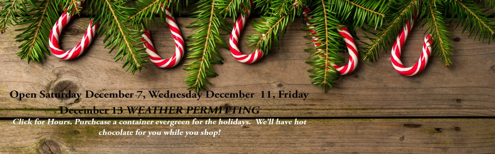 Container Holiday Trees Available