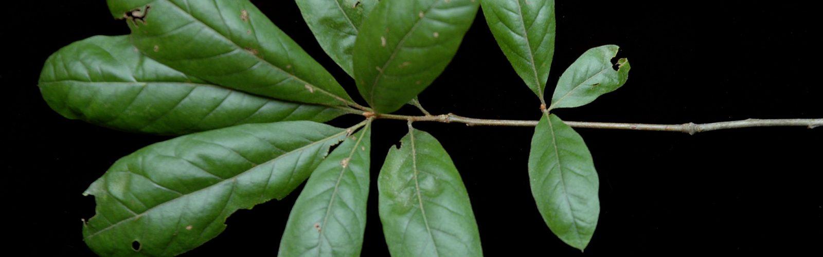 Species Spotlight:  Shingle Oak