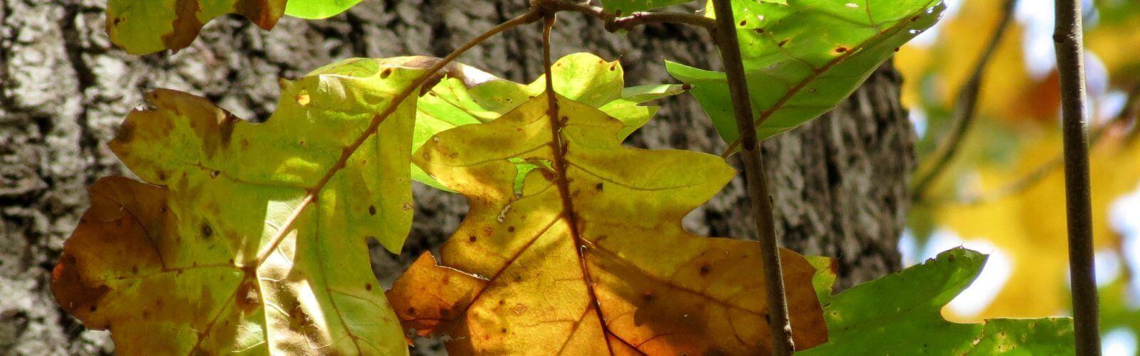 Species Spotlight – Black Oak