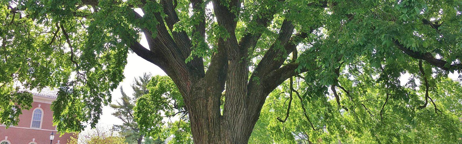 Should You Plant American Elm?