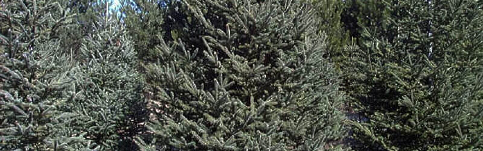 Species Spotlight – White Spruce