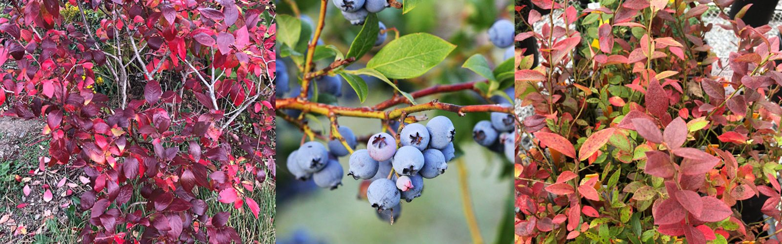 Beautiful Blueberries – Brighten Up Your Fall Landscape!