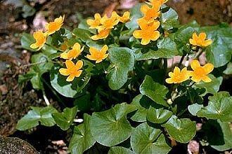 march marigold