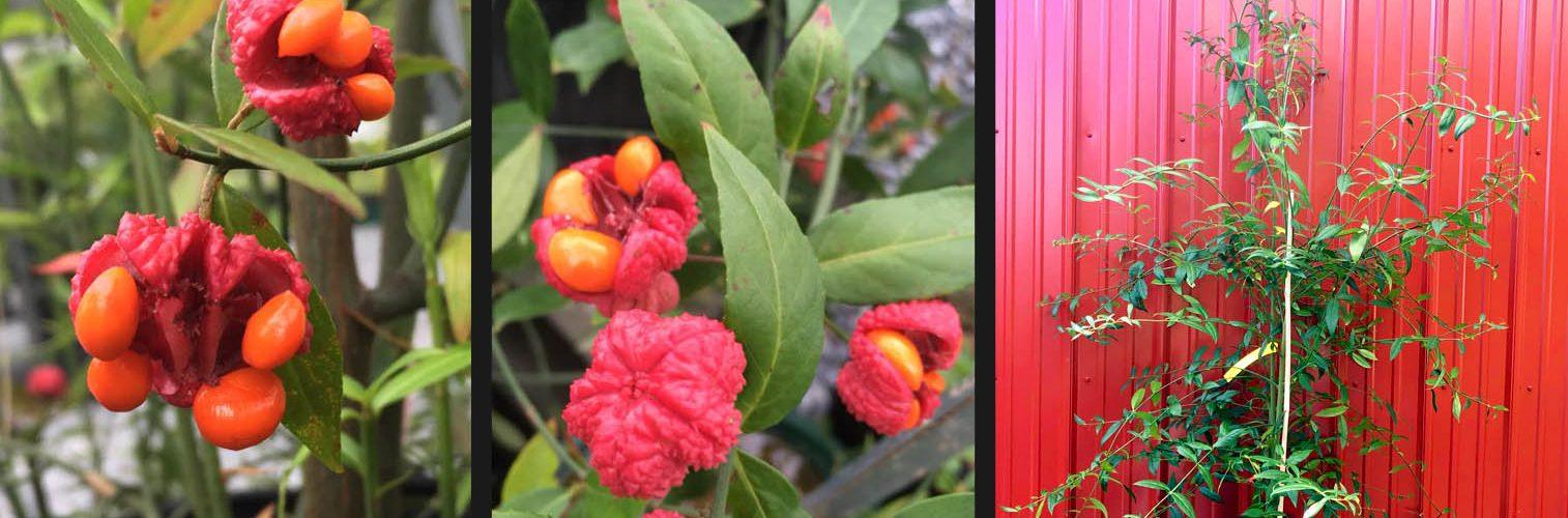 Species Spotlight – Euonymus americanus (Hearts-a-Burstin')