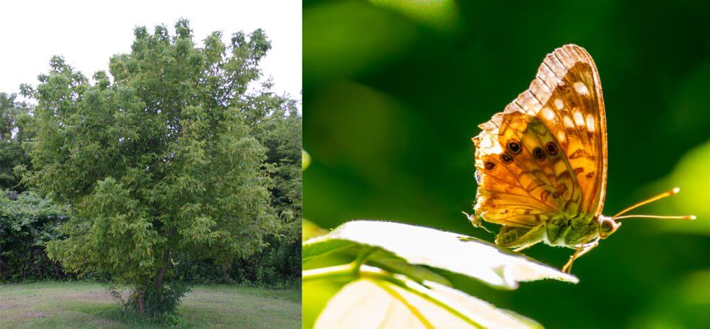 Hackberry and emperor butterlfy