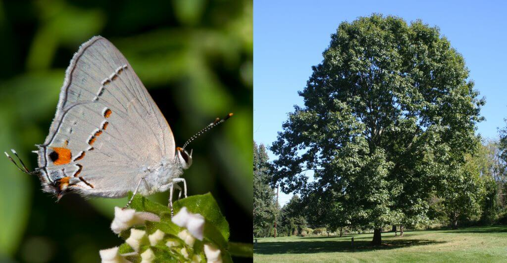 Hairstreak and Red Oak