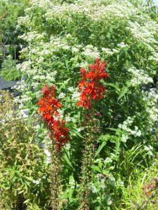 Cardinal Flower and Boneset