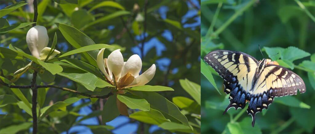 Magnolia and swallowtail