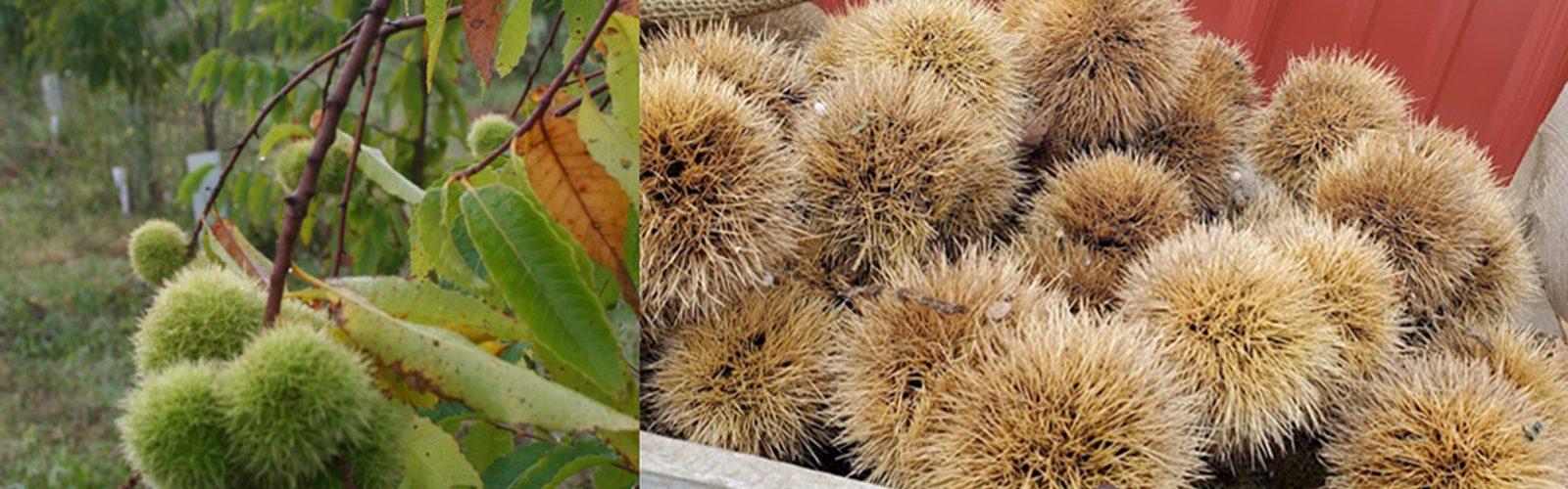 American Chestnut Pollination Workshop