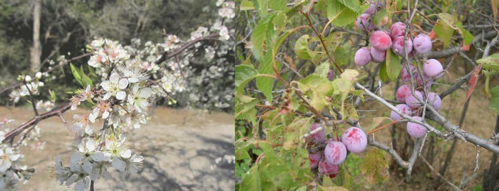 flowers and fruit of prunus americana