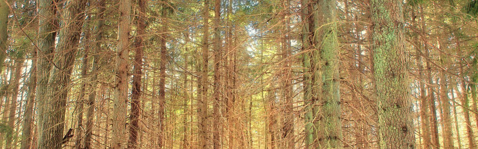 Species Spotlight: Red Pine