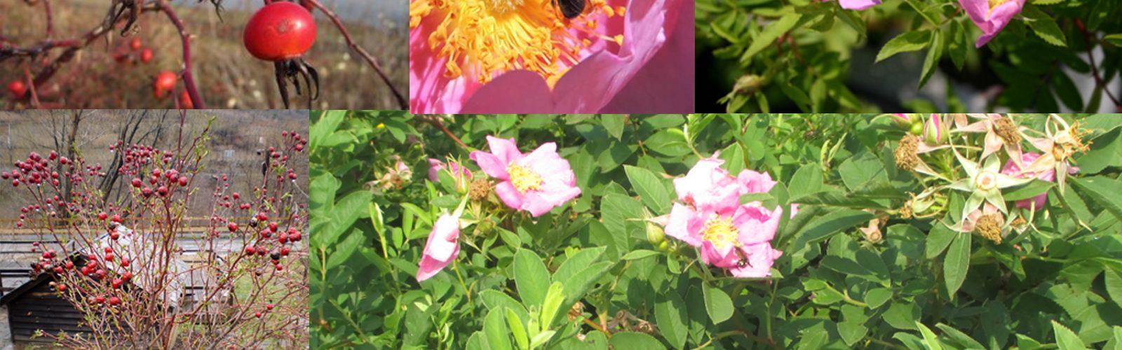 Genus Spotlight: The Native Roses