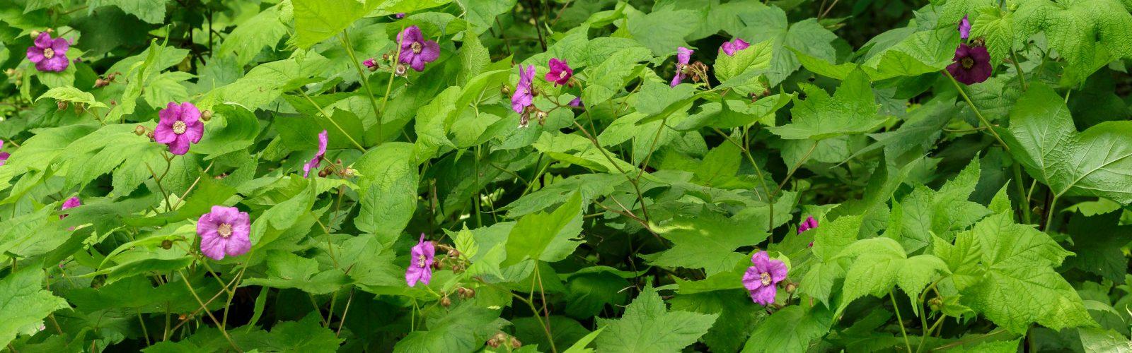 Species Spotlight: Rubus odoratus (Flowering Raspberry)