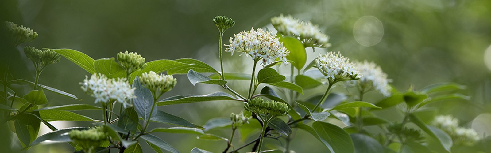 Species Spotlight:  Cornus amomum (Silky Dogwood)