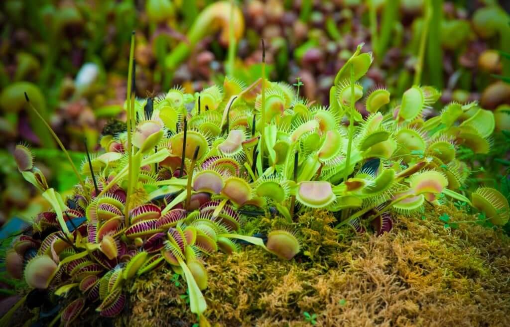 venus flytrap growing naturally